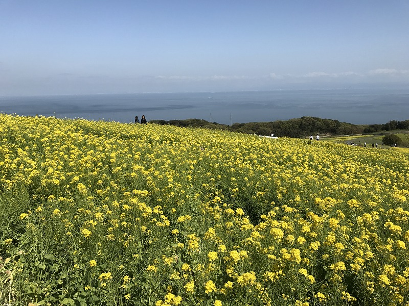 Japan's largest field of rape blossoms