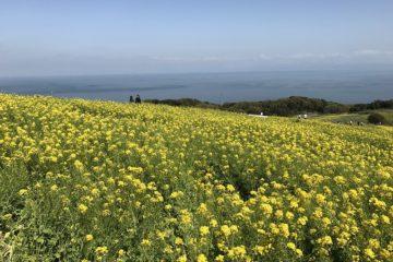 Japan's largest field of rape blossoms