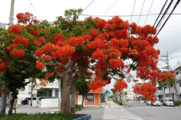 Gajumaru flowers in Ishigaki