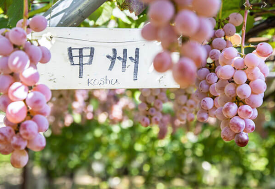 Yamanashi is famous for its vineyard and wine.